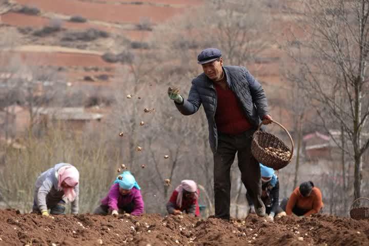 ↑甘肃定西市渭源县元古堆村村民在播撒百合种子。2014年,元古堆村将百合、马铃薯种薯和中药材确定为扩大种植的重点品种。在小额信贷、农业保险等政策支持下,几年下来,种植面积由2012年的1000亩扩大到了4500亩。村里还组织农户成立了合作社,统一技术指导、农资供应、产销对接,提升产品附加值和产业组织化程度,助力村民增收致富(2020年3月11日摄)。