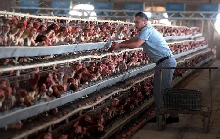 """↑河南兰考县张庄村村民在自家养鸡场内收鸡蛋。随着农业规模化经营的开展和引进企业的入驻,村里用工机会和岗位逐渐增多, """"农民就地变工人,就业增收不离村"""",不少外出务工的张庄人也主动返乡投身创业。2017年兰考县实现整体脱贫(2019年9月摄)。"""